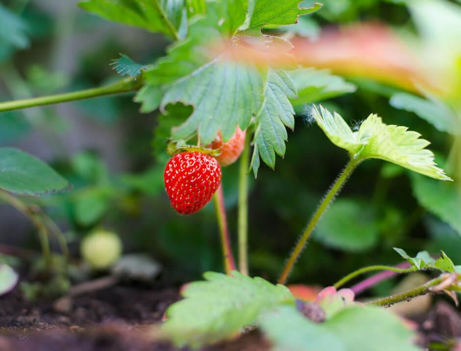 como cultivar fresas